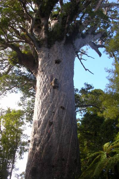 The giant kauri tree, about 2000 years old.